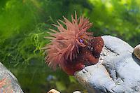 Pferdeaktinie, Pferde-Aktinie, Aktinie, Purpurrose, Actinia equina, Seeanemone, See-Anemone, beadlet anemone, sea anemone, beadlet-anemone, sea-anemone,  l'actinie rouge, tomate de mer, actinie chevaline, actinie commune, cubasseau, sea anemones, Blumentier, Blumentiere, Anthozoa