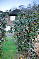Ilex aquifolium 'Pendula'