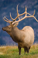Nature bestows a magnificent crown upon a mature bull elk in its prime.