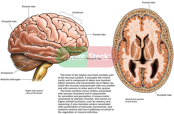 Anatomy of the Brain. Contains a long description of the brain, its role as the largest part of the nervous system, containing billions of interconnected neurons.