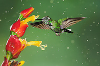 Purple-bibbed Whitetip (Urosticte benjamini), young male feeding from flower during rain fall,Mindo, Ecuador, Andes, South America