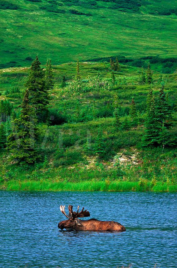 A bull moose (Alces alces) swims in a tundra pond. Denali National Park, Alaska