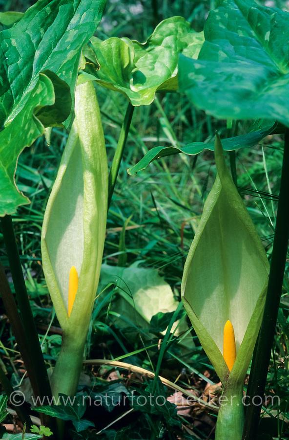 Italienischer Aronstab, Arum italicum, Italian arum, Italian lords-and-ladies,  l'Arum d'Italie, Gouet d'Italie