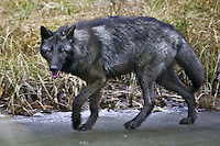 Grey Wolf (canis lupus) trotting along a frozen pond near Kalispell, Montana, USA - Captive Animal