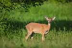Yearling buck in a summer field in northern Wisconsin.