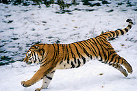 Siberian Tiger (Panthera tigris) running.  Endangered Species.  Winter.