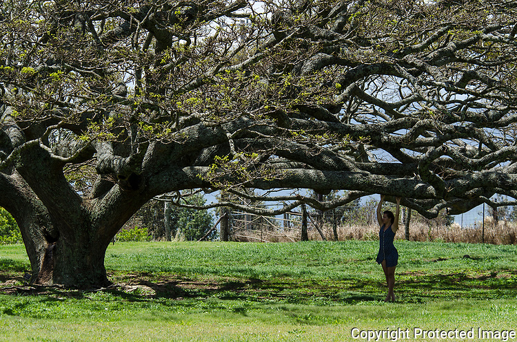 fashion shoot on the island of maui, a young lady under a banyan tree.