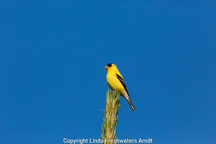 Male American goldfinch perched on a red pine tree