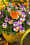 VIOLA CORNUTA 'PENNY PEACH JUMP-UP', AND VIOLA WITTROCKIANA 'KARMA DEEP ORANGE IMPROVED', PANSY