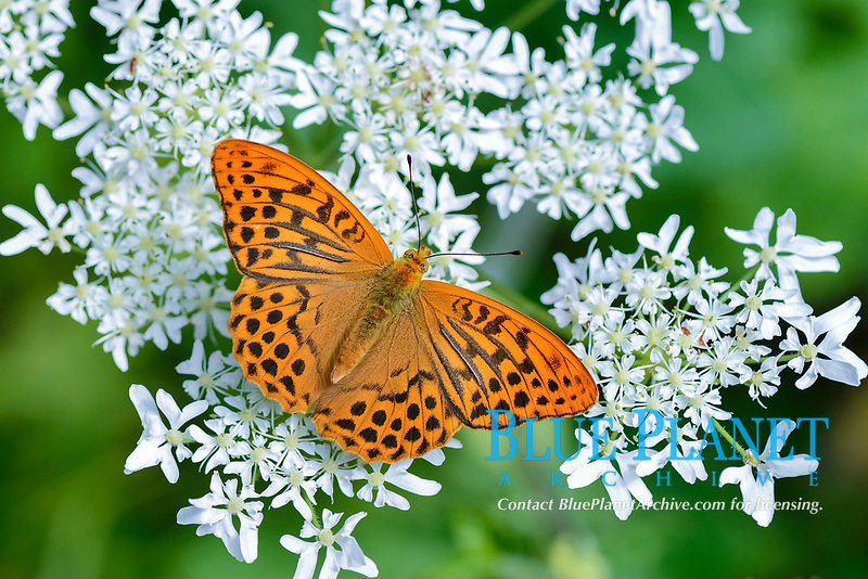 Silver-washed Fritillary (Argynnis paphia) perched on a Chervil plant (Anthriscus),  Kanton Zug     , Switzerland, Europe