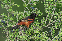 Orchard Oriole (Icterus spurius), male eating berries, Laredo, Webb County, South Texas, USA