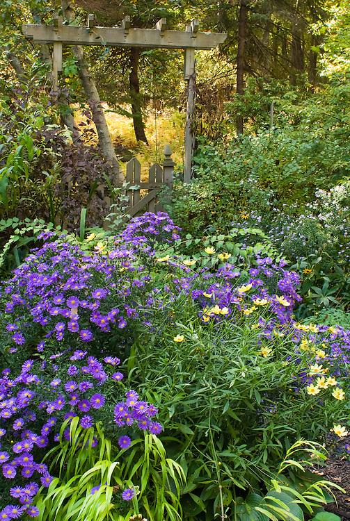 Fall September autumn flower garden with Aster dumosus Sapphire, Coreopsis Full Moon, trellis and picket fence, Physocarpus, Hakonechloa Allgold, Kolkwitzia Dreamcatcher, Syringa, fall foliage trees