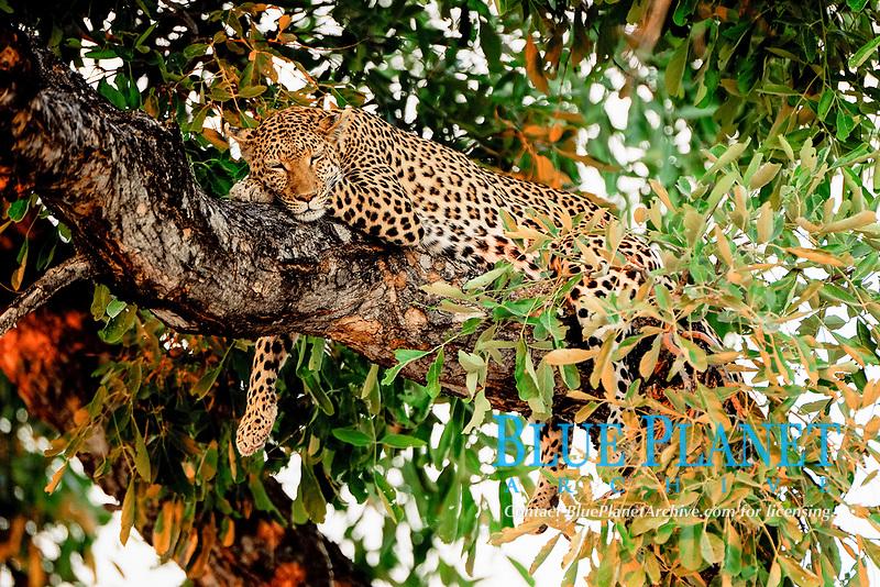 African leopard (Panthera pardus pardus), North Bridge Camp, Moremi Game Reserve, Botswana, Africa
