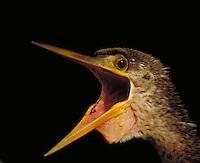 Anhinga, female. Florida, Everglades National Park.