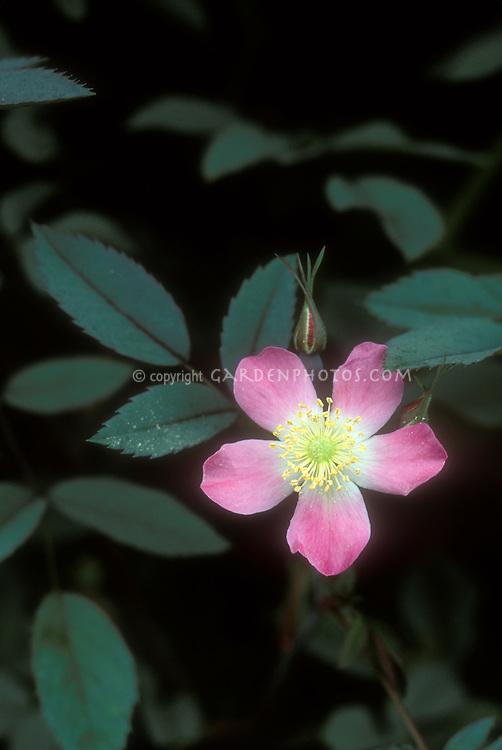 Rosa glauca in flower, species rose