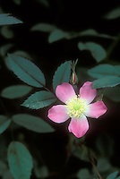 Rosa glauca in flower, species rose