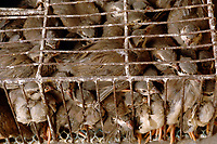 "Cages of quails at a bird and poultry marker in Guangzhou, China.in this file photo. China's wild animal markets, where live wild animals and reared animals are sold are the source of many viruses that mutate as they ""jump"" from animals to humans. The coronavirus COVID-19 is thought to have originated in an animal market in China. <br /> By Sinopix Photo Agency"