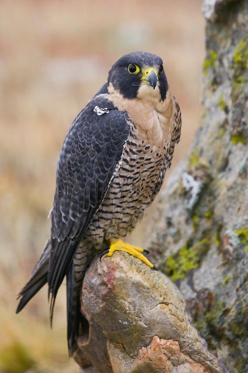 Peregrine Falcon (falco peregrinus) perched on a rock in front of a lichen covered rock face near Denver, Colorado, USA