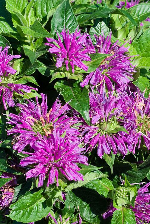 Monarda didyma 'Blue Stocking' in bloom, beebalm flowers
