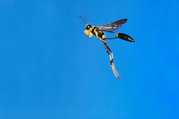 Black and yellow Mud Dauber (Sceliphron caementarium), female in flight with mud ball, Comal County, Hill Country, Central Texas, USA