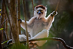 Verreaux's Sifaka (Propithecus verreauxi) in relaxed posture in forest understorey. Berenty Private Reserve, southern Madagascar.