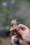 Banding an Overnbird