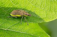 Gelbrandrüssler, Gelbrand-Rüssler, Dunkelgrüner Gelbrandrüssler, Chlorophanus viridis