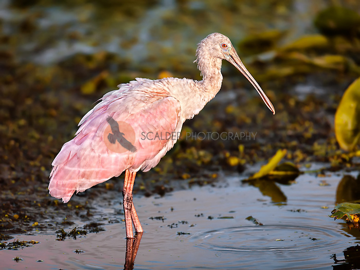 Roseate Spoonbill wading in evening light in wetlands