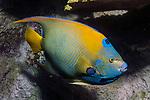 Queen Angelfish facing right