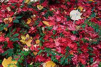 France, Allier (03), Villeneuve-sur-Allier, Arboretum de Balaine en automne, tapis de feuille d'érable du Japon (Acer palmatum) et de tulipier (Liriodendron tulipifera)
