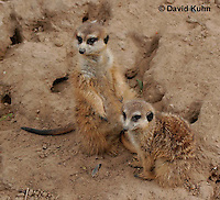 0215-08yy  Pair of Meerkats on Lookout, Suricata suricatta © David Kuhn/Dwight Kuhn Photography