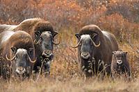 Muskox  Cow and calf of the year on the tundra, Seward Peninsula, arctic Alaska.