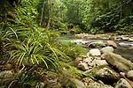 Fern (Dipteris lobbiana) group along river flowing through lowland rainforest, Tawau Hills Park, Sabah, Borneo, Malaysia