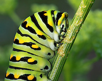 A follow iamge of the Black Swallowtail, this specimen's much bigger. If you look closely at the caterpillars side, you can see the oval shaped external openings (spiracles) of the tracheal system that allows for respiration.. The caterpillar contracts muscles to open and close the spiracles. One spiracle pair is on the first thoracic segment; the other 8 pairs are on the first lower 8 abdominal segments..