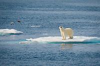 Male Polar Bear, Ursus maritimus, standing on iceberg, Baffin Island, Canada, Arctic Ocean