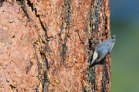 Pygmy Nuthatch (Sitta pygmaea) on side of ponderosa pine tree.  Western U.S.