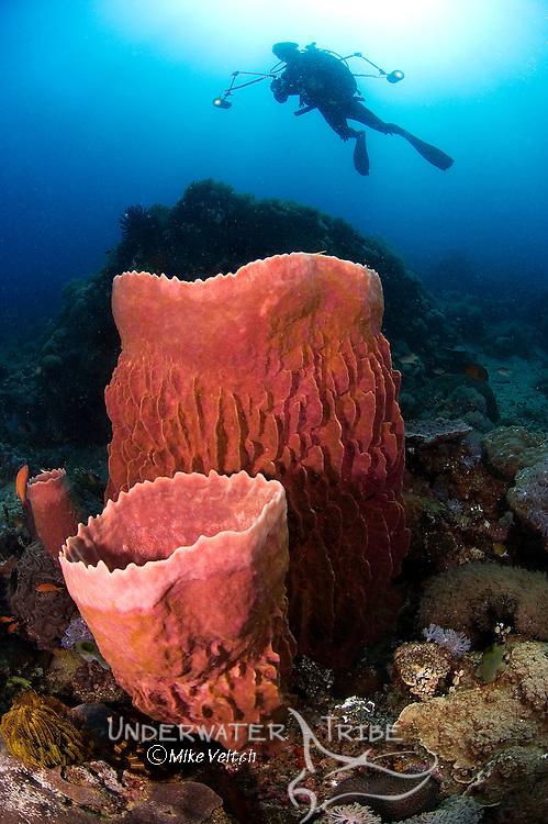 Barrel sponges and diver silhouette, Xestospongia sp., Anilao, Batangas, Luzon, Philippines, Pacific Ocean
