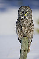 Great Grey Owl perched on a fence post