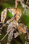 """Dead Leaf"" Leaf-tailed Gecko (Uroplatus ebenaui). Mantadia National Park, Eastern Madagascar."