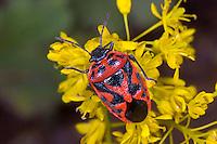 Schwarzrückige Gemüsewanze, Schmuckwanze, Eurydema ornata, Eurydema ornatum, Ornate Shieldbug, Baumwanzen, Pentatomidae, stink bugs