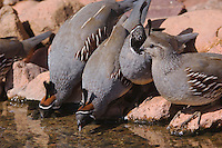 Gambel's Quail, Callipepla gambelii, males and female drinking,Tucson, Arizona, USA, September 2006