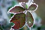 Deutschland, Bayern: die ersten Nachtfroeste zeugen vom bevorstehenden Winter - Brombeerblaetter mit Raureif | Germany, Bavaria: first night frost decorates blackberry leaves with white frost