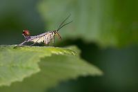 Skorpionsfliege, Skorpions-Fliege, Männchen mit skorpionsschwanzartiger Hinterleibsspitze, Panorpa cf. communis, Panorpa, common scorpionfly, scorpionfly, Panorpidae, Skorpionsfliegen, scorpionflies