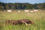 Adult Giant Anteater (Myrmecophaga tridactyla) (sometimes called Ant Bear) walking across open savannah with Brahman or Brahma Cattle ((Bos primigenius indicus) (a breed of Zebu Cattle ), grazing behind. Near Unamas Private Reserve, Los Llanos, Colombia, South America.