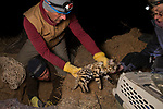 Black-footed Cat (Felis nigripes) veterinarian, Arne Lawrenz, transferring sedated male to carrier with veterinarian, Birget Eggers, for collaring after biologist, Alex Sliwa, dug him out, Benfontein Nature Reserve, South Africa