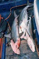 scalloped hammerhead sharks, Sphyrna lewini, and silvertip sharks, Carcharhinus albimarginatus, victims of long line fishing, Myanmar, Burma Banks, Andaman Sea, Indian Ocean