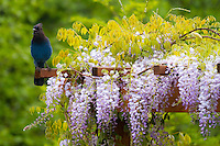 A Stellar's Jay (Cyanocitta stelleri) is perched on wooden arbor in Spring with a wisteria (Wisteria sinensis) in full bloom of violet flowers.