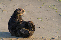 Southern Sea Otter (Enhydra lutris nereis) sitting up while resting on beach.  California.