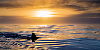silhouette of great white shark dorsal fin, Carcharodon carcharias, cruising on the surface, at sunset, Dyer Island, Gansbaai, South Africa