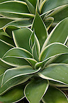 AGAVE ATTENUATA 'RAY OF LIGHT', FOX-TAIL AGAVE